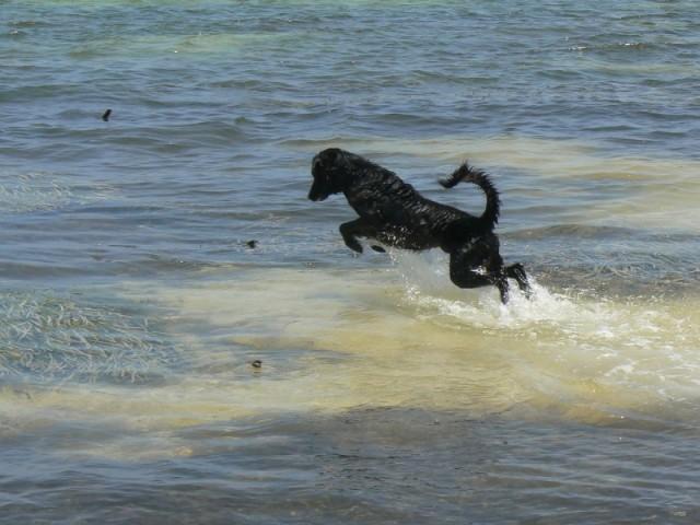 Соседская собака-очень любила купаться-3-4 часа не выходила из моря.