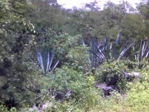 Раньше, в конец 19 века это растение-енекен, сделало Юкатан одно из самых богатых государств в мире-милионеры были больше чем в США.