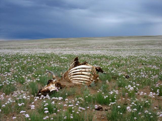 Круговорот Жизни и Смерти. Монголия, степь.
