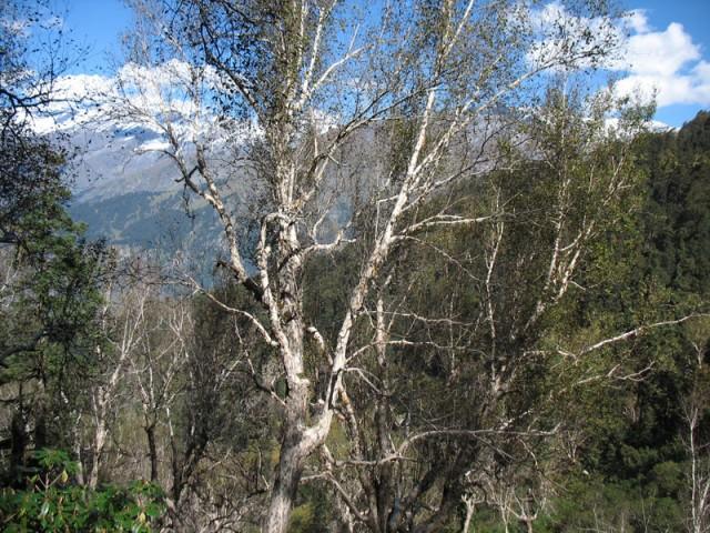 Гималайская береза