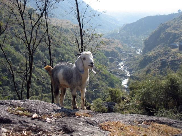 Гималайская коза