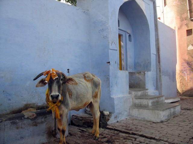 Храмовая корова