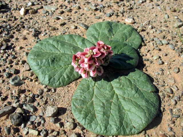 Цветы пустыни Гоби