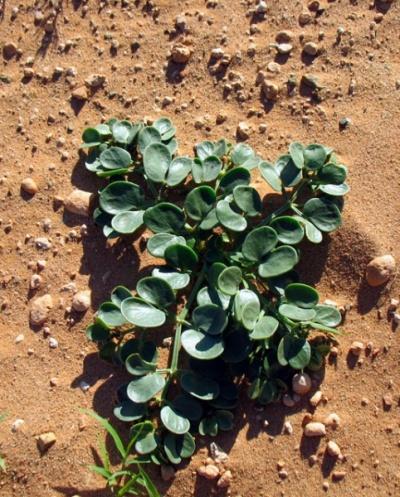 Растения в Баянзаге, пустыня Гоби, Монголия
