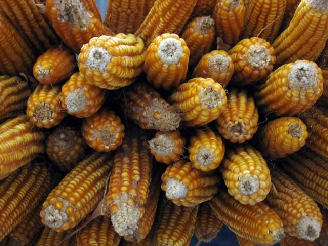 Кукуруза - наше всё!