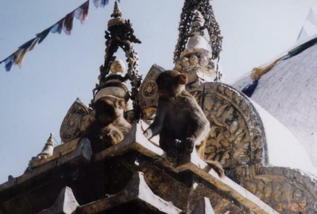 И снова обезьянки.