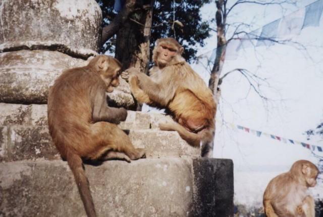 Диких обезьян много не только в Бразилии