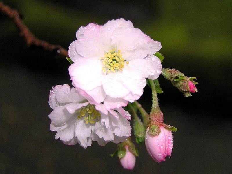 цветы сакуры картинки: