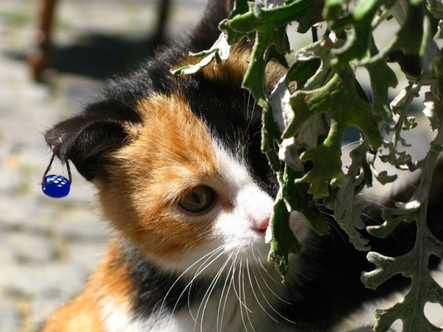 Стамбульский котенок