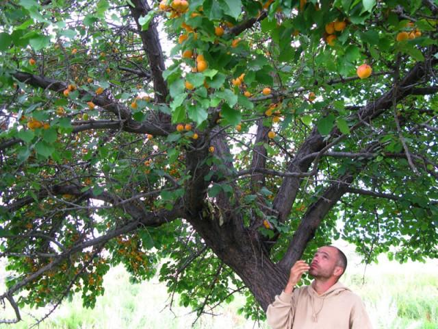 Под диким абрикосом