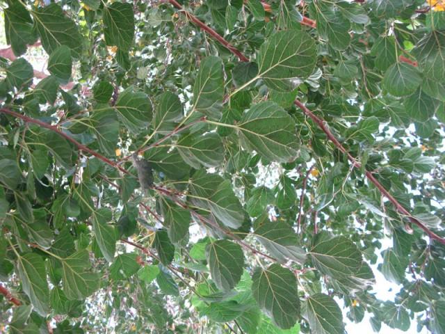 Листья тутового дерева