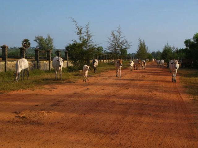 Красная земля Камбоджи... И белые коровы...