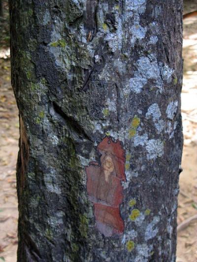 Одна из разновидностей эбенового (черного) дерева - Diospyros hasseltii