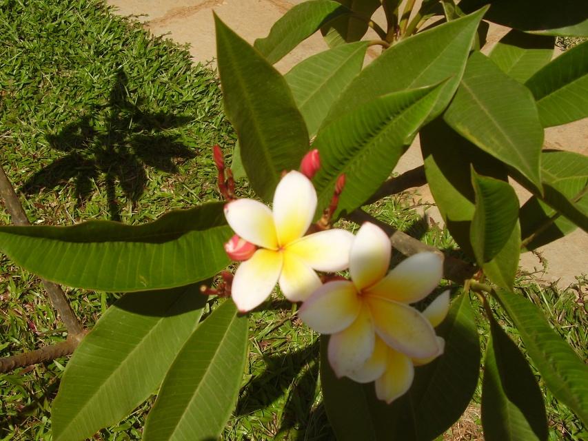 Цветы манго