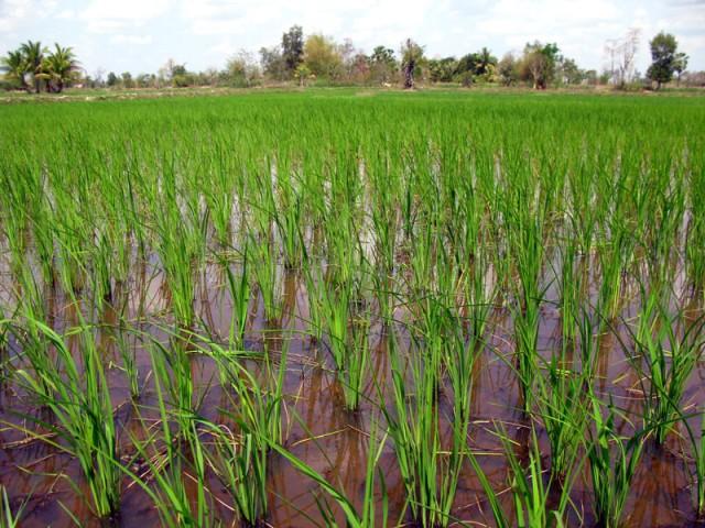 Слушаем как растет рис...