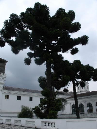 национальное дерево Эквадора