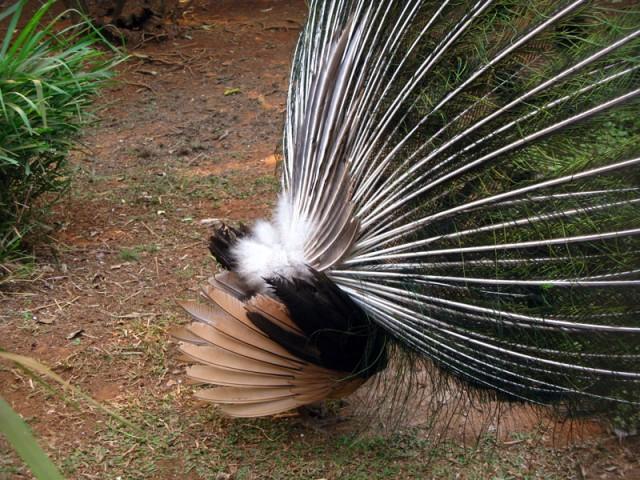 Система перьев, поддерживающая сзади павлиний хвост