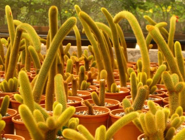 Толпа кактусов