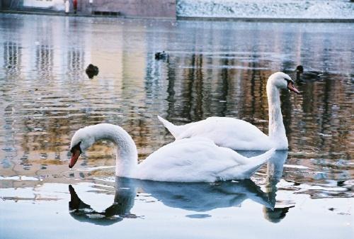 лебеди на Патриарших