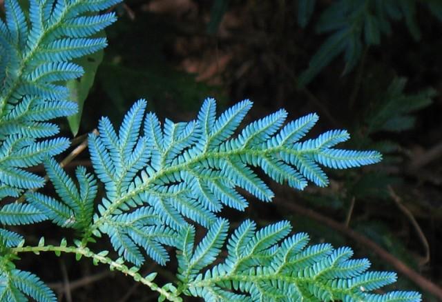 Растение голубых кровей