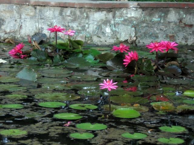 цветущие лотосы