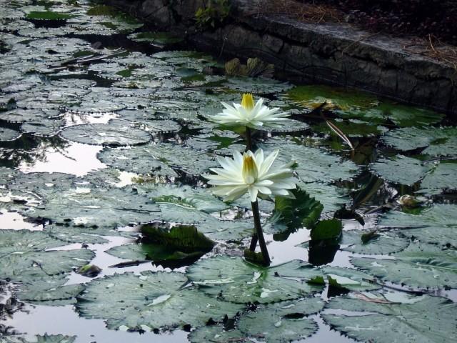 цветущие символы Индии
