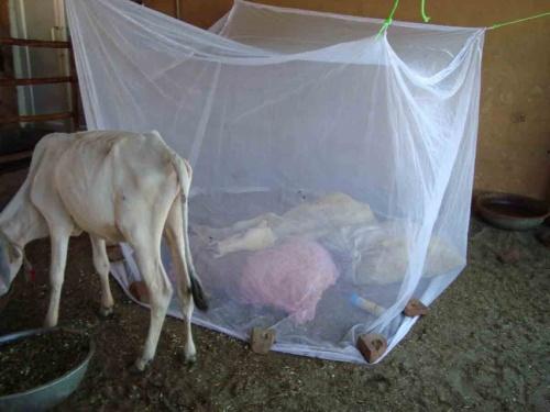 Под сеткой корова с переломленным позвоночником