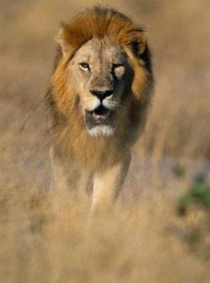Индийский лев