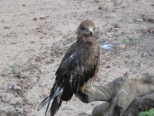 наш орёл