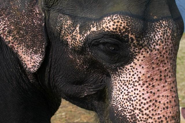 Купание слонов в Читване 9