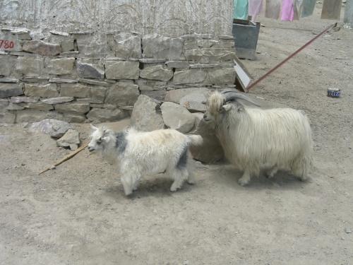 Тибетские компакт-козы