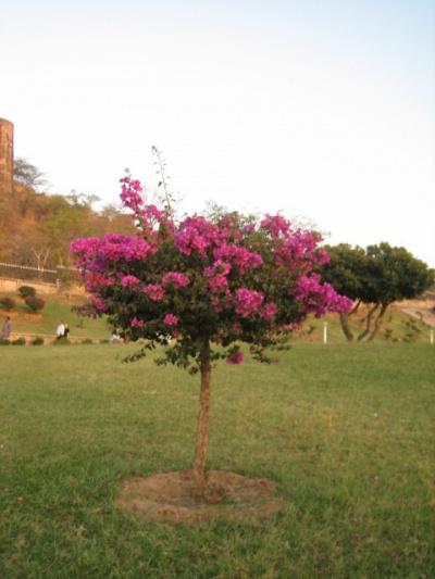 Когда бугенвилия зацветает на наших балконах, люди этому радуются.  В Индии она - как сорняк...