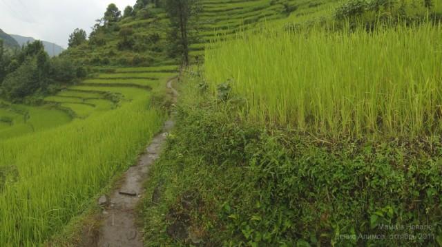 Рис в Непале