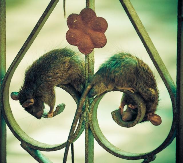 крысы это цветы жизни