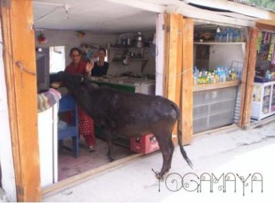 Корова в кафе