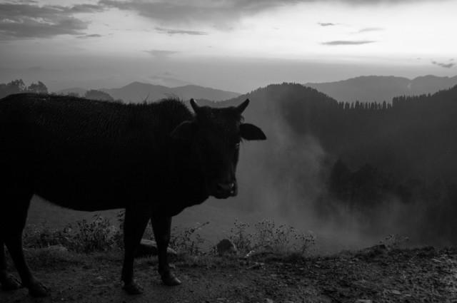 Коровы на перевале