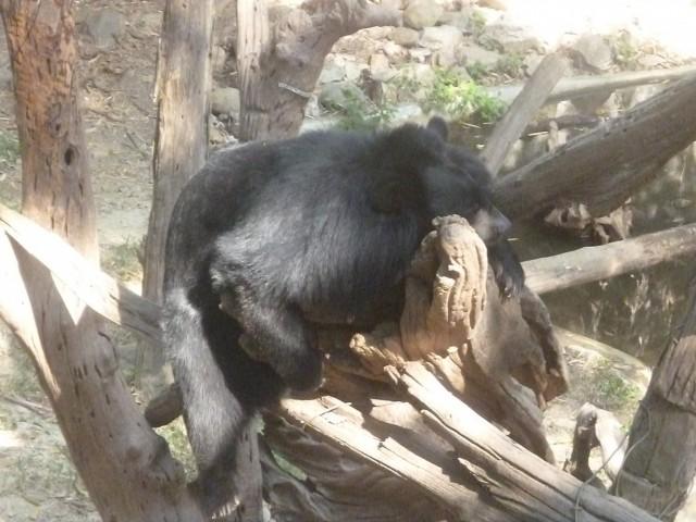 Азиатский мишка отдыхает