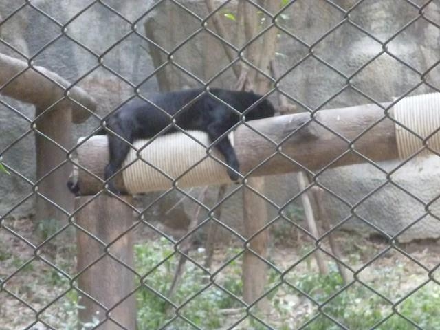 Черный леопард в релаксе