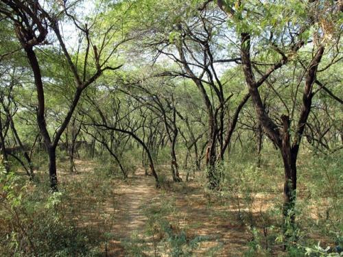 Роща деревьев тамал. Темный цвет ствола дерева тамал напоминает цвет тела Кришны.