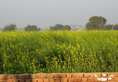 Горчичное поле