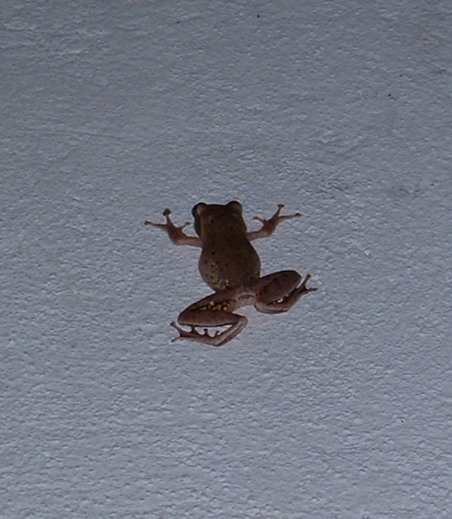 Ползающая по стенам лягушка