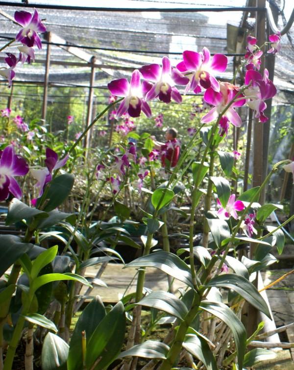 Выращивание орхидей на даче 456