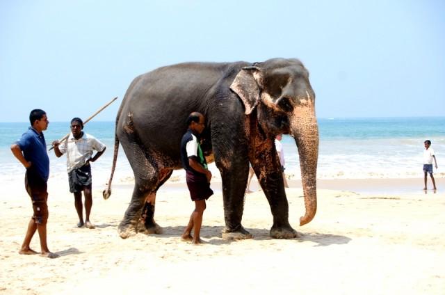 ...Водят слона по берегу