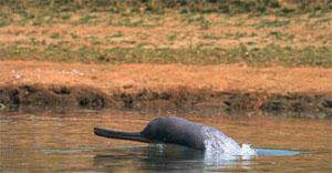 Сусук - малочисленное животное, занесённое в Международную Красную