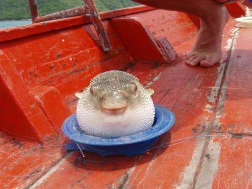 Родственник фугу. Рыба шар