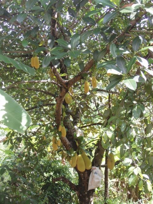 джет фрукт или хлебное дерево