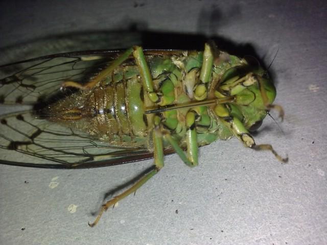 цикада