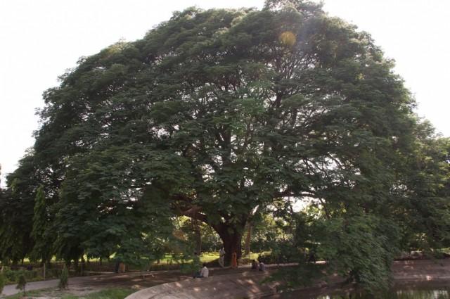 райское дерево!