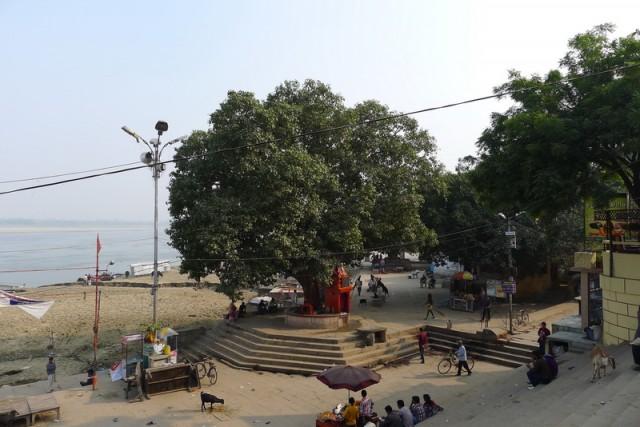 Известное дерево на Assi Ghat