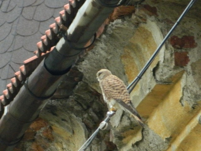 замковый птиц